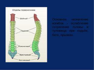 Основное назначение изгибов - ослабление сотрясения головы и туловища при хо