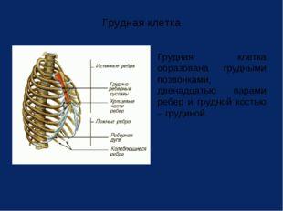 Грудная клетка Грудная клетка образована грудными позвонками, двенадцатью па