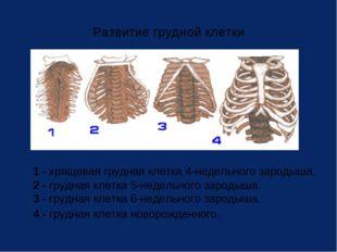Развитие грудной клетки 1 - хрящевая грудная клетка 4-недельного зародыша. 2