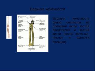 Верхние конечности Верхняя конечность (руки) слагается из плечевой кости, ко