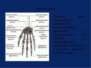 Кости кисти Суставы кисти значительно отличаются разнообразием движений и по