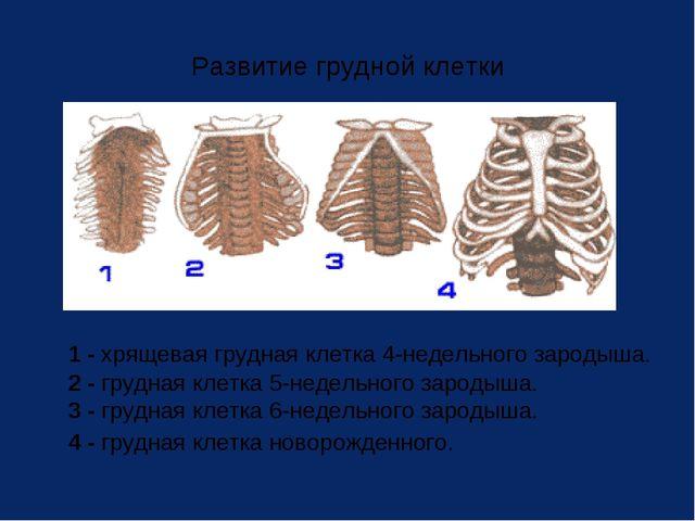 Развитие грудной клетки 1 - хрящевая грудная клетка 4-недельного зародыша. 2...