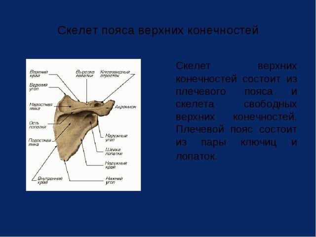 Скелет пояса верхних конечностей Скелет верхних конечностей состоит из плече...