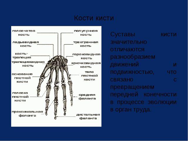 Кости кисти Суставы кисти значительно отличаются разнообразием движений и по...