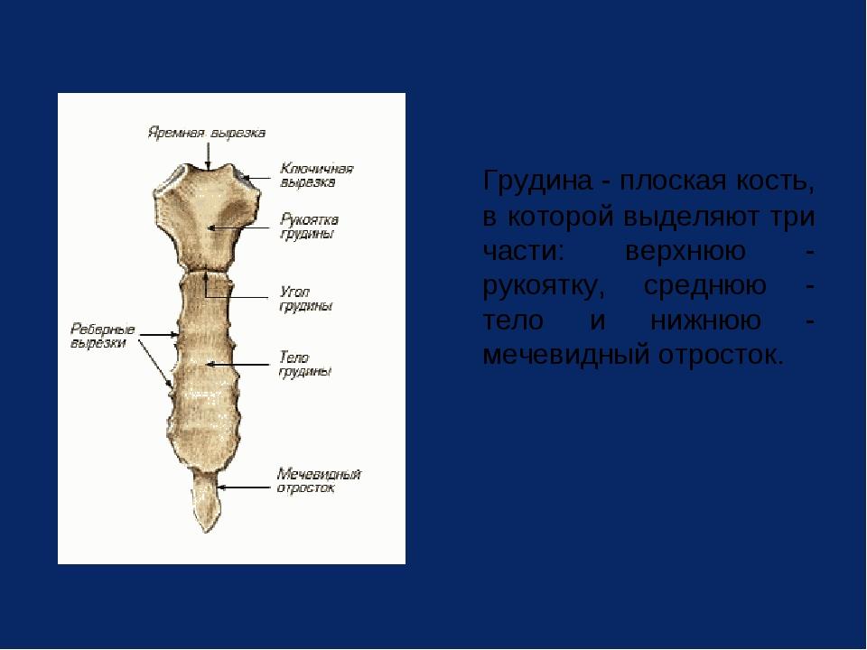 Грудина - плоская кость, в которой выделяют три части: верхнюю - рукоятку, с...