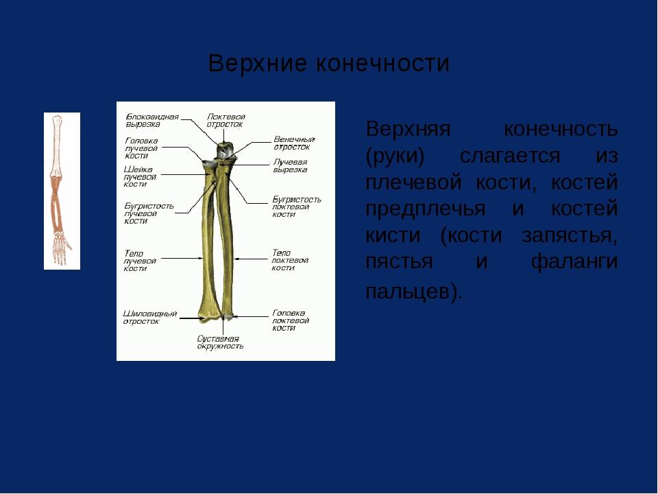 Верхние конечности Верхняя конечность (руки) слагается из плечевой кости, ко...