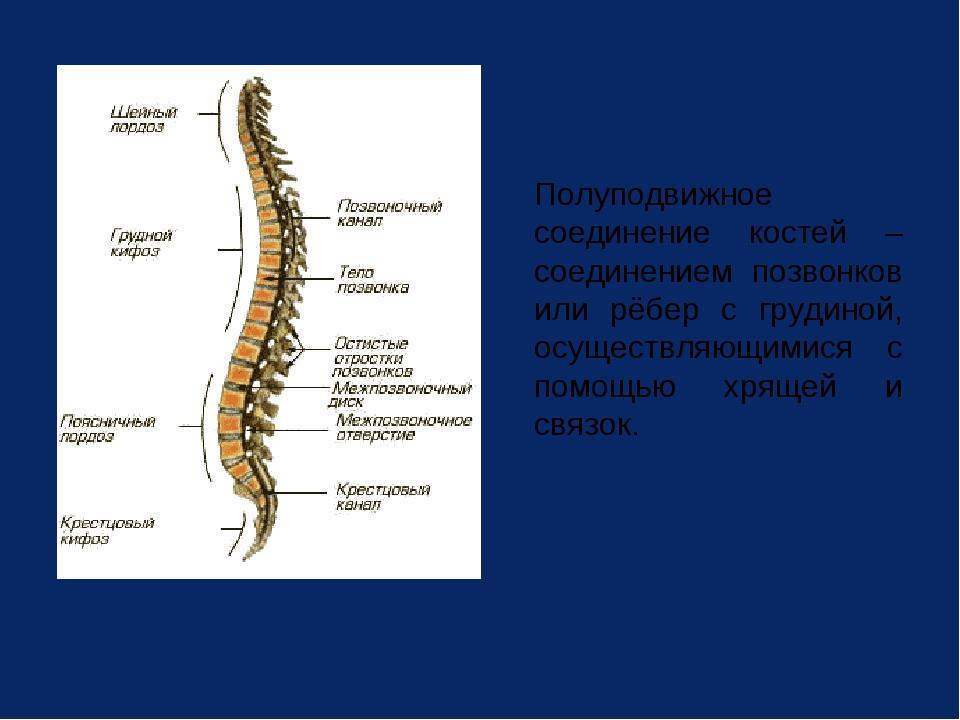Полуподвижное соединение костей – соединением позвонков или рёбер с грудиной...