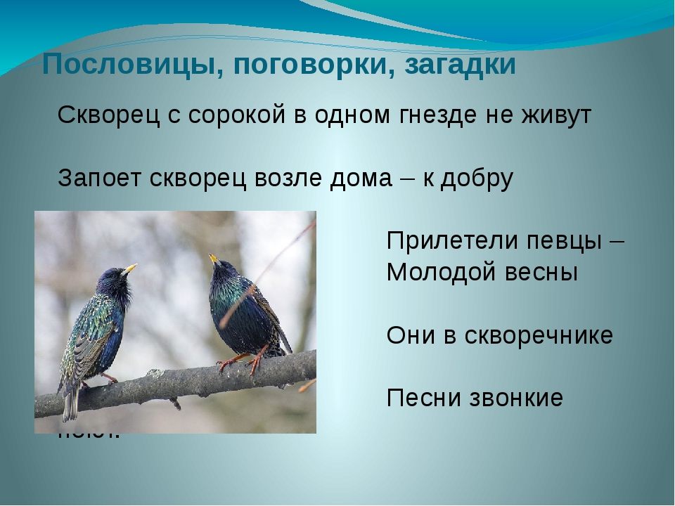 Пословицы, поговорки, загадки Скворец с сорокой в одном гнезде не живут Запое...