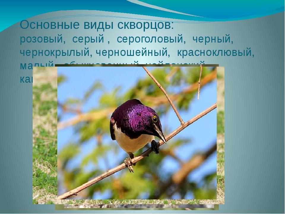 Основные виды скворцов: розовый, серый , сероголовый, черный, чернокрылый, че...