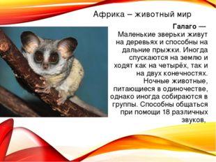Африка – животный мир Галаго — Маленькие зверьки живут на деревьях и способны