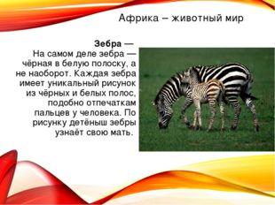 Зебра — На самом деле зебра — чёрная в белую полоску, а не наоборот. Каждая з