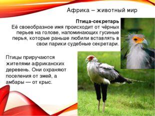 Африка – животный мир Птица-секретарь Её своеобразное имя происходит от чёрны