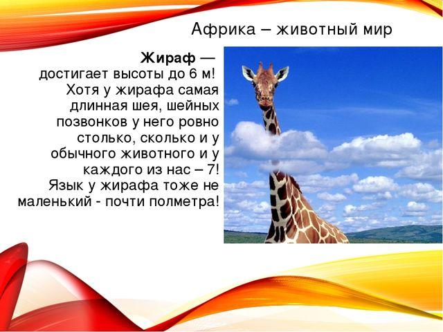 Жираф — достигает высоты до 6 м! Хотя у жирафа самая длинная шея, шейных позв...