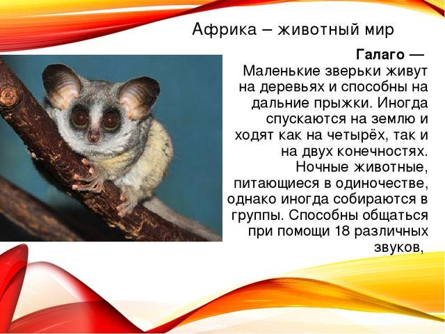 Африка – животный мир Галаго — Маленькие зверьки живут на деревьях и способны...