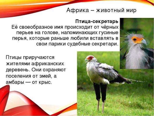 Африка – животный мир Птица-секретарь Её своеобразное имя происходит от чёрны...