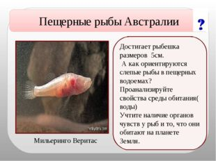 Достигает рыбешка размеров 5см. А как ориентируются слепые рыбы в пещерных во