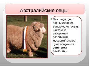 Эти овцы дают очень хорошее волокно, но очень часто оно засоряется различным