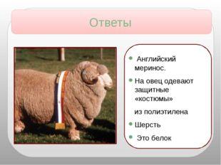 Английский меринос. На овец одевают защитные «костюмы» из полиэтилена Шерсть