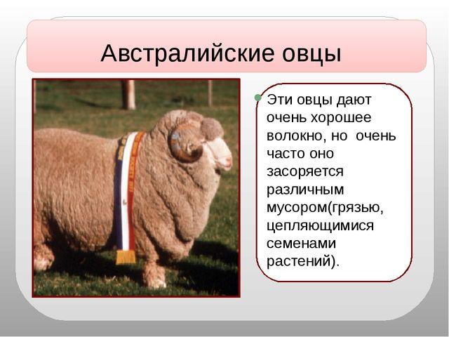 Эти овцы дают очень хорошее волокно, но очень часто оно засоряется различным...