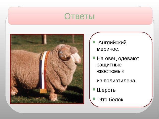 Английский меринос. На овец одевают защитные «костюмы» из полиэтилена Шерсть...