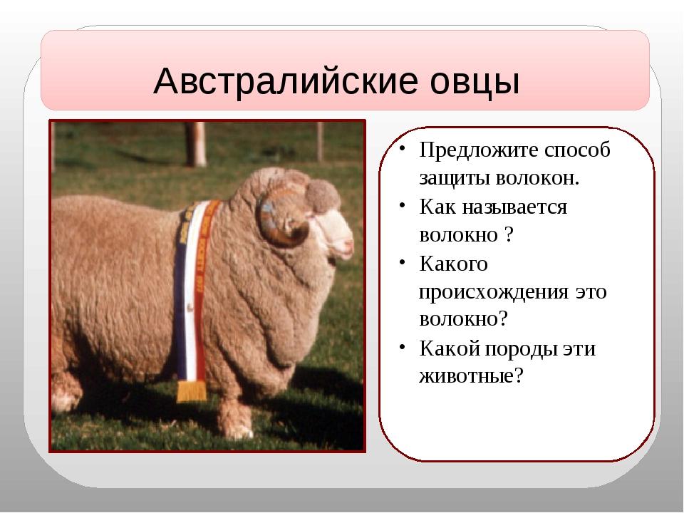 Австралийские овцы Предложите способ защиты волокон. Как называется волокно...
