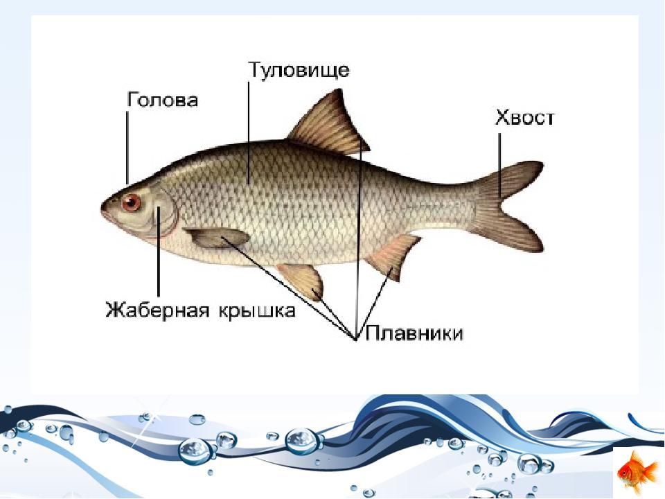 красивые картинка части рыбы время