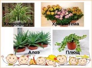 Хлорофитум Плющ Хризантема Алоэ