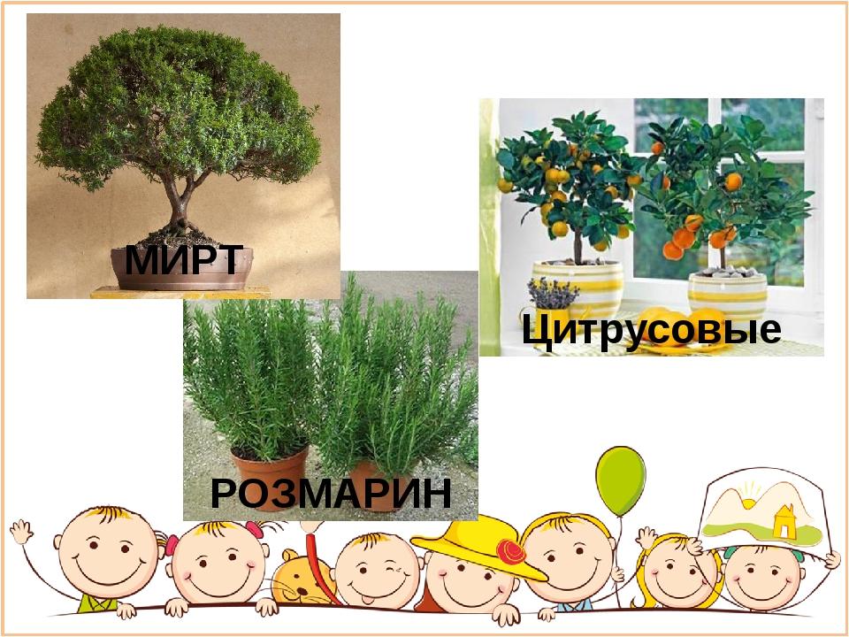 Цитрусовые РОЗМАРИН МИРТ