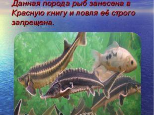 В низовьях дельты Волги водится всеми любимая редкая рыба такая как: севрюга,