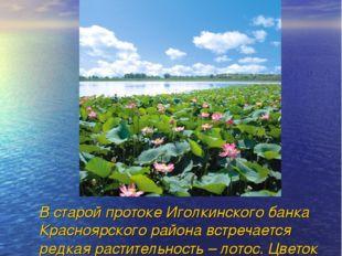 В старой протоке Иголкинского банка Красноярского района встречается редкая
