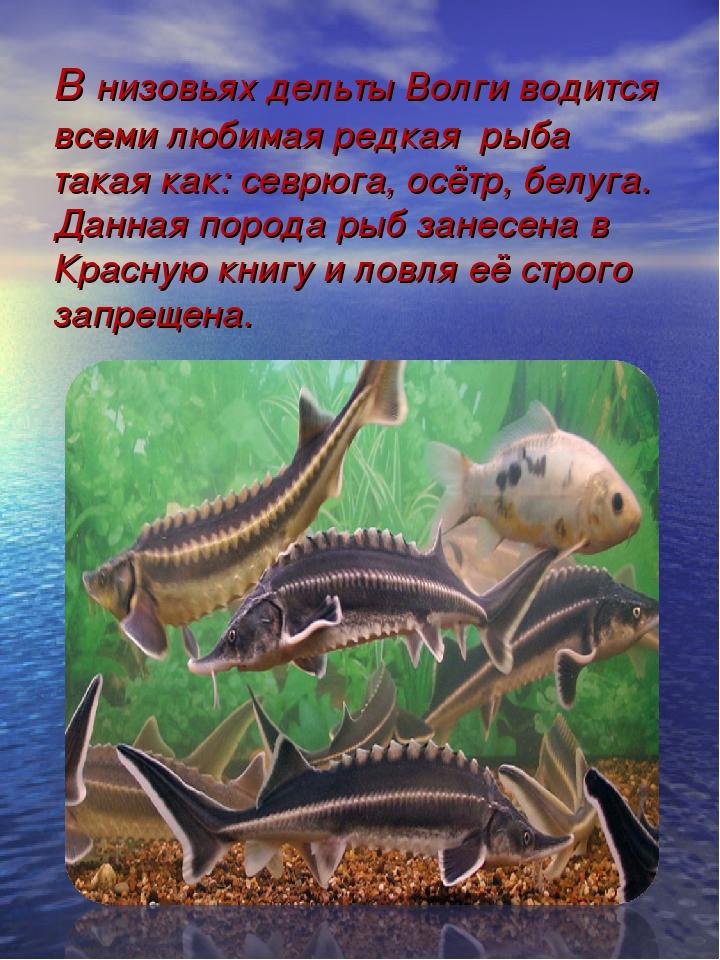 В низовьях дельты Волги водится всеми любимая редкая рыба такая как: севрюга,...