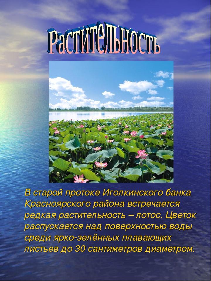 В старой протоке Иголкинского банка Красноярского района встречается редкая...