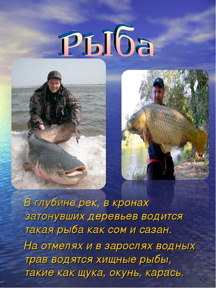 В глубине рек, в кронах затонувших деревьев водится такая рыба как сом и саз...