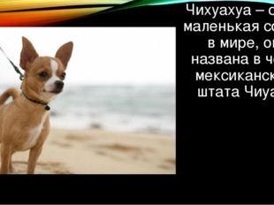 Чихуахуа – самая маленькая собака в мире, она названа в честь мексиканского ш