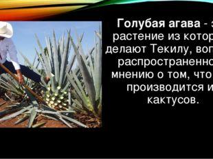 Голубая агава- это растение из которого делаютТекилу, вопреки распространен