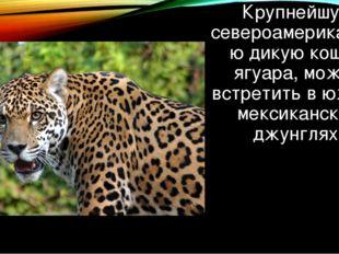 Крупнейшую североамериканскую дикую кошку, ягуара, можно встретить в южных ме
