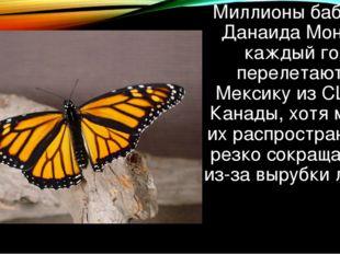 Миллионы бабочек Данаида Монарх каждый год перелетают в Мексику из США и Кана