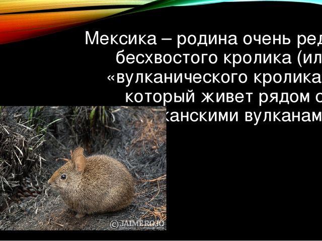Мексика – родина очень редкого бесхвостого кролика (или «вулканического кроли...