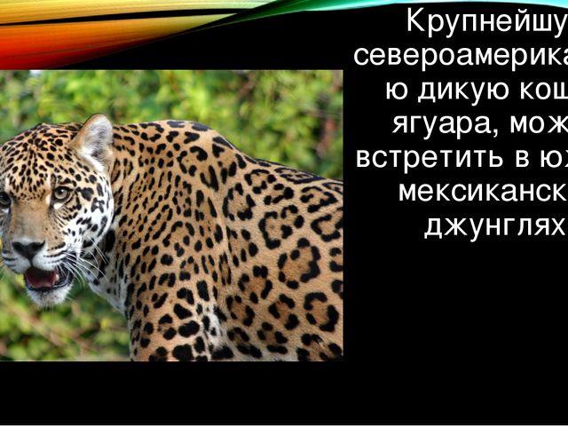 Крупнейшую североамериканскую дикую кошку, ягуара, можно встретить в южных ме...