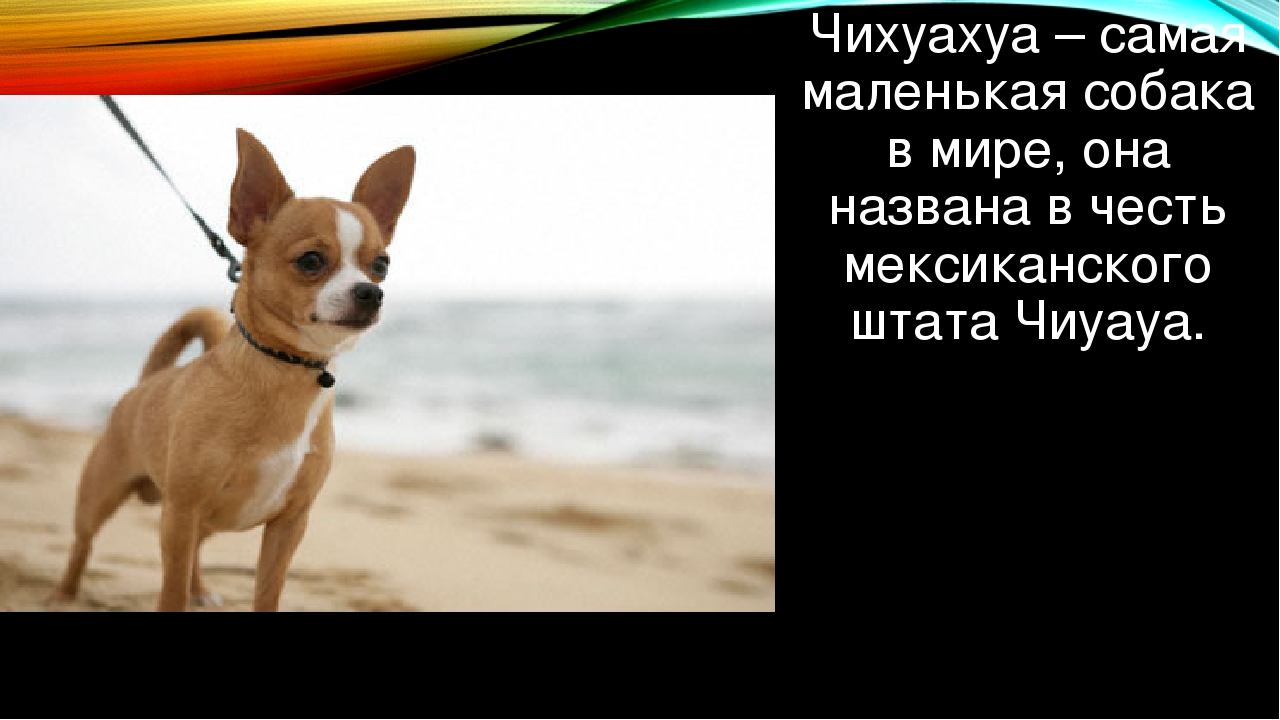 Чихуахуа – самая маленькая собака в мире, она названа в честь мексиканского ш...
