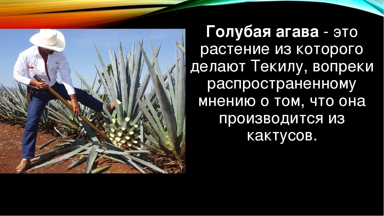 Голубая агава- это растение из которого делаютТекилу, вопреки распространен...