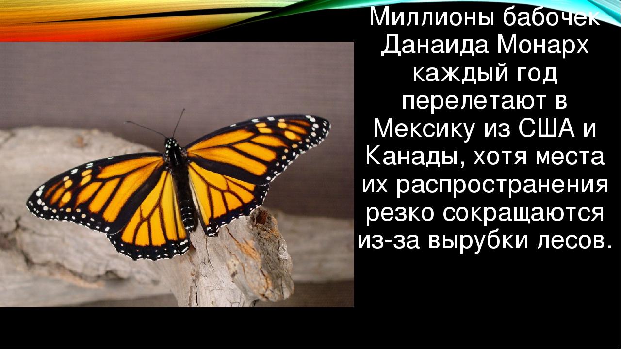 Миллионы бабочек Данаида Монарх каждый год перелетают в Мексику из США и Кана...