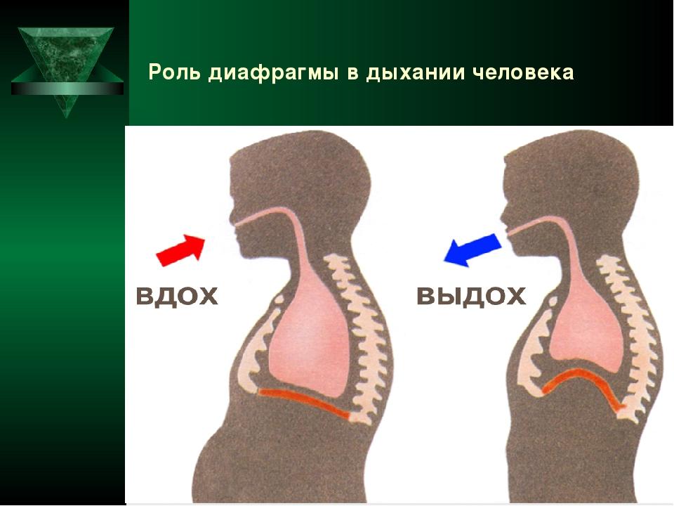 Роль диафрагмы в дыхании человека