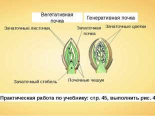 Зачаточные листочки Зачаточная почка Зачаточный стебель Почечные чешуи Зачато