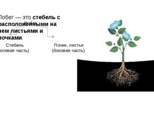 Побег — это стебель с расположенными на нем листьями и почками. Побег Стебель