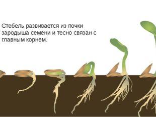 Стебель развивается из почки зародыша семени и тесно связан с главным корнем.