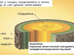 Сердцевина Заболонь Камбий Кора Флоэма или луб Рост стебля в толщину осуществ