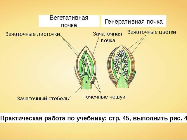 Зачаточные листочки Зачаточная почка Зачаточный стебель Почечные чешуи Зачато...
