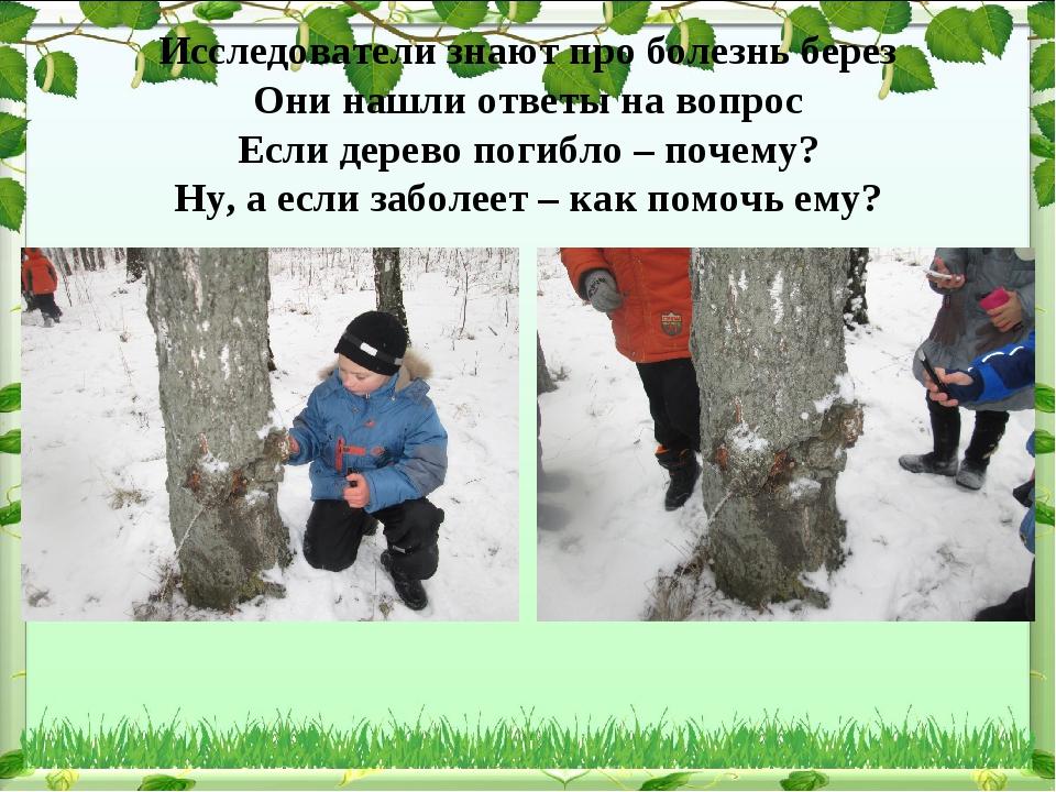 Исследователи знают про болезнь берез Они нашли ответы на вопрос Если дерево...