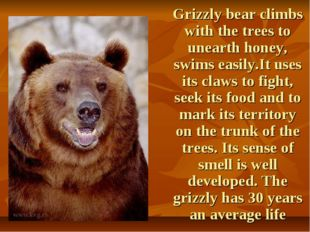 Grizzly bear climbs with the trees to unearth honey, swims easily.It uses it